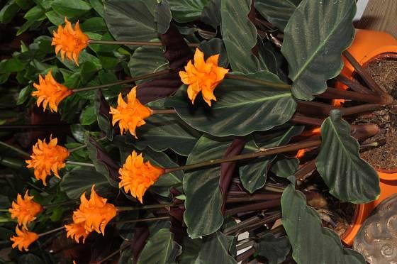 Calathea crocata, oblíbená  pokojová rostlina
