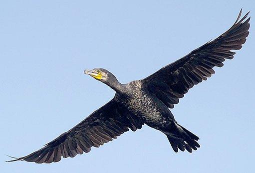 kormorán velký v letu