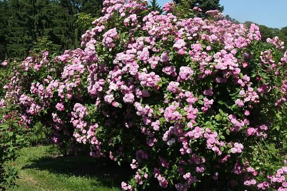 Sadová růže, odrůda Geschwind´s Nordlandrose