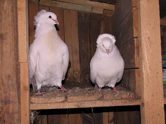 I montaubánci, jako všichni holubi, potřebují společnost svého druhu