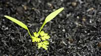 Mladá rostlinka kerblíku třebule.