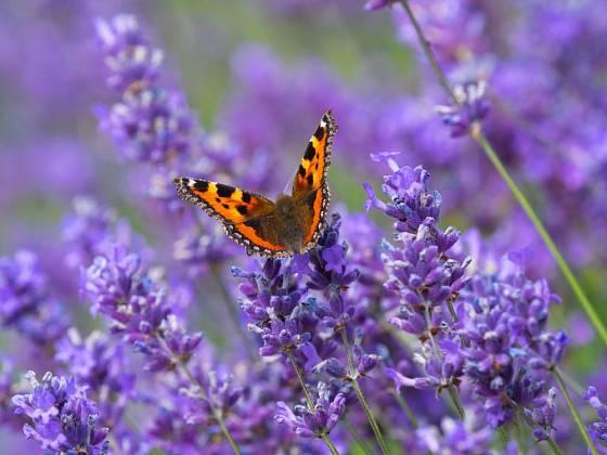Kvetoucí levandule přinese radost všem včetně baboček