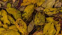 LIstí ovocných stromů může být napadeno chorobami