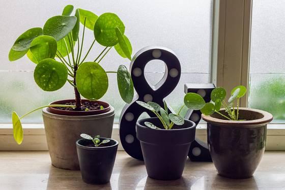 Pilea peperomioides je sice méně známá, ale zároveň i atraktivní rostlina.