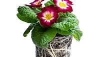 Předpěstované primulky mají obvykle kořeny vyplněnou celou nádobu.