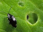 Dřepčíci jsou maličcí, ale dokáží zlikvidovat záhony zeleniny.