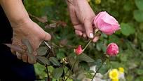 řez růží