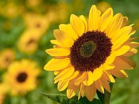 Kvetoucí slunečnice.