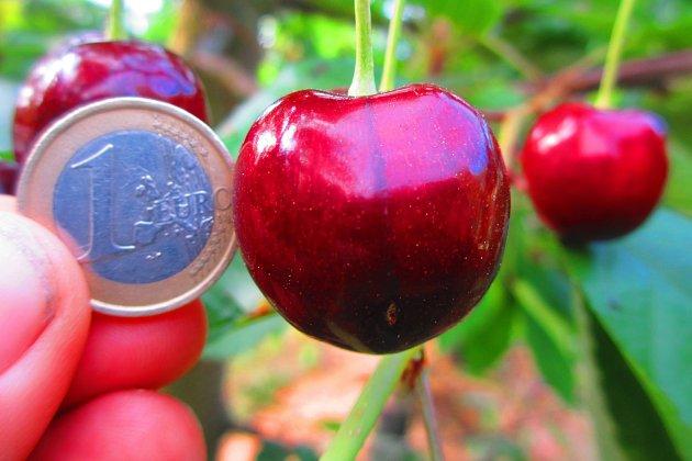 pozdní odrůda třešně Vilma