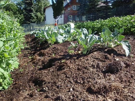 Košťálové zelenině svědčí dostatek výživy, na vyvýšeném kompostovém záhonu se jí proto daří