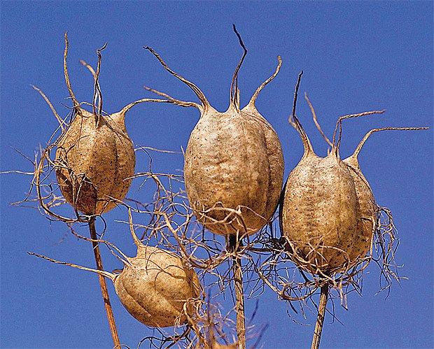 Měchýřkaté plody černuchy damašské nabízejí nejen hezký pohled, ale i skrýš pro přezimující hmyz