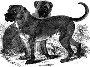 Cuban Mastiff, The Animal Kingdom Illustrated , AJ Johnson & Co., New York, 1885