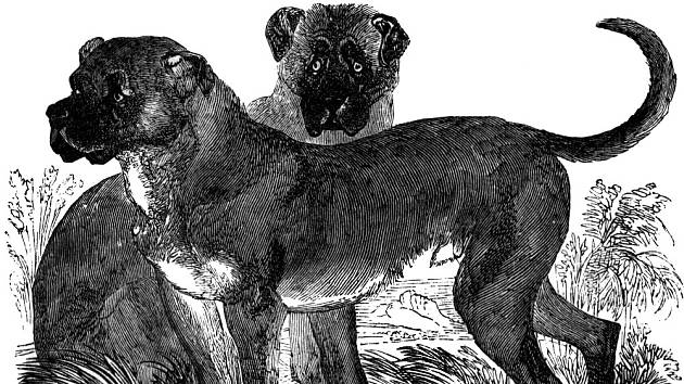 Cuban Mastiff, The Animal Kingdom Illustrated , AJ Johnson & Co., New York, 1885