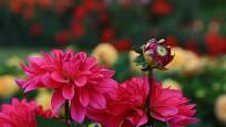Jiřinky zdobí zahradu až do mrazu