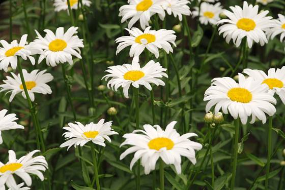 Kopretiny (Leucanthemum) by neměly chybět v žádné zahradě.