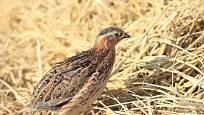 Křepelka japonská je původně stepní pták, pocházející z Asie