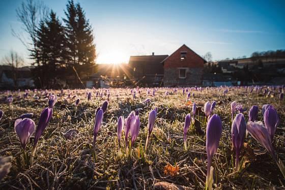 Časně na jaře rozkvétají v Drebachu tisíce krokusů.