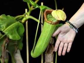 Láčkovka uťatá (Nepenthes truncata) patří mezi masožravky s největšími pastmi.