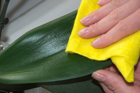 K pravidelné péči o orchideje by mělo patřit i otírání prachu.