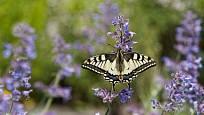 Šanta je nektarodárná a nasytí motýly, včely i čmeláky. Zde hoduje otakárek fenyklový