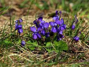 Violka vonná (Viola odorata) kvete časně na jaře.