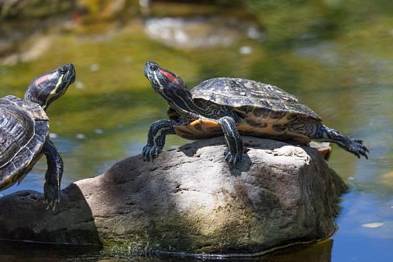 Želvy si odpočinek dovedou vychutnat.Želva nádherná (Trachemys scripta elegans)