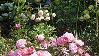 Růže odrůdy Flirt