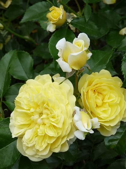 Růže odrůdy Solero