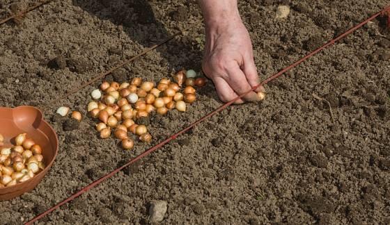 Provázek s uzlíky se hodí nejen k setí, ale i k výsadbě cibule sazečky