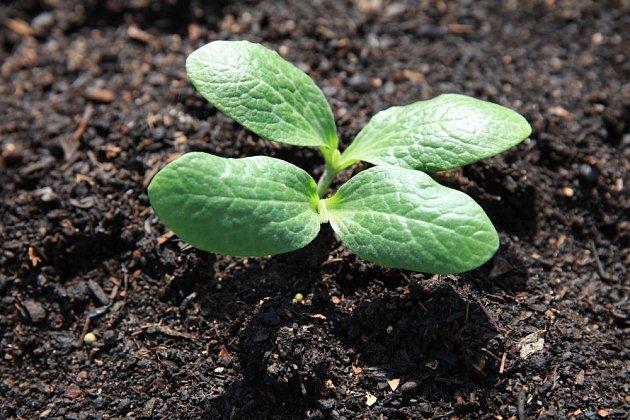 V teplé a vlhké zemině semena cuket rychle klíčí a semenáčky utěšeně rostou