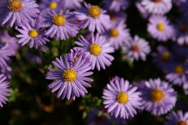 Hvězdnice keříčkovitá (Aster dumosus) - ozdoba podzimní zahrady.