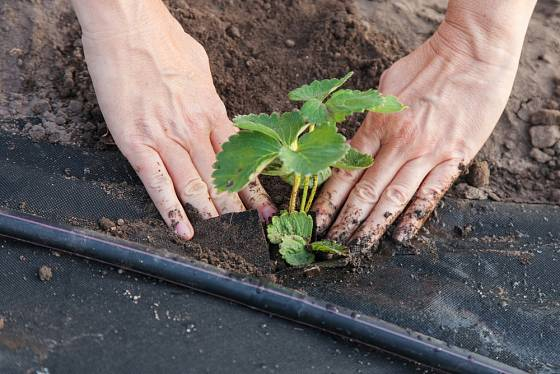 Půdu kolem sazenice jahodníku přitlačíme, kořenový krček však musí zůstat nad povrchem půdy