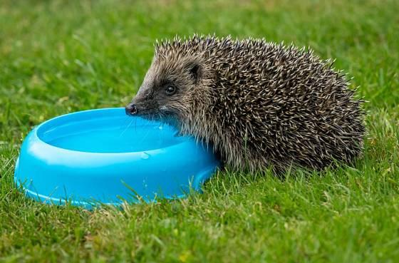 Jako napajedlo pro ježky poslouží i běžná miska pro psy