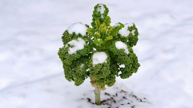 Kadeřavá kapusta může přezimovat v zimě na zahradě.