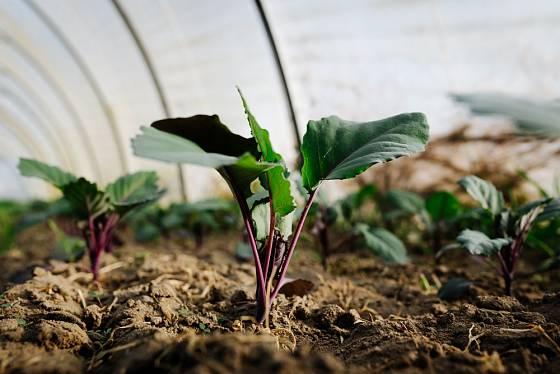 Kedlubny se dají dobře rychlit ve skleníku.