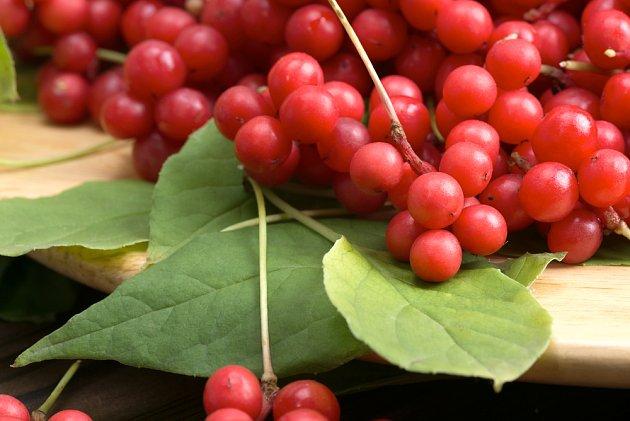 Léčivé jsou plody i listy klanoprašky neboli mangolky čínské