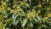 Květy břečťanu krásně voní a lákají motýly i včely
