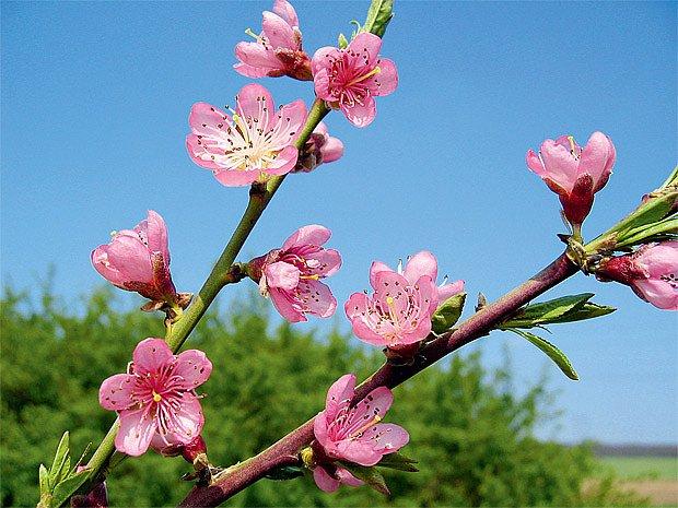květy broskvoně