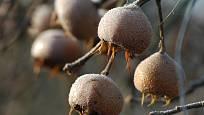 Plody mišpule jsou po přemrznutí ještě chutnější