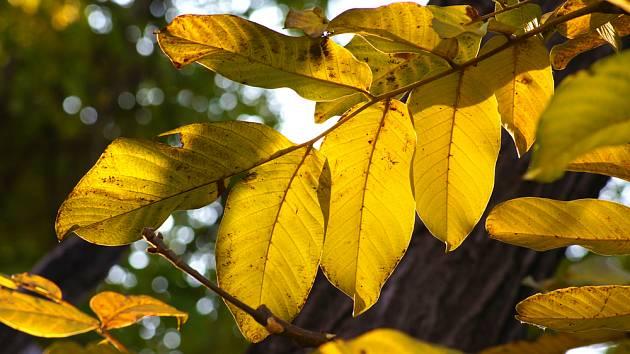 Listí z ořešáku se rozkládá delší dobu než z ostatních dřevin.