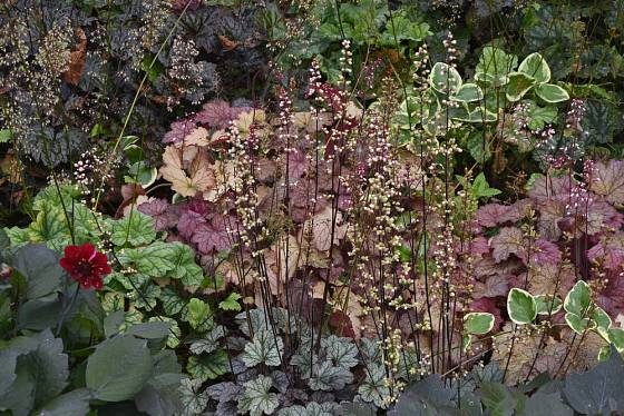 Dlužicha (Heuchera), odrůda Palace Purple v trvalkové výsadbě
