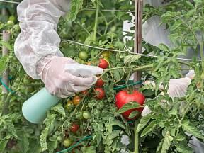 Chuť domácích rajčat je nezapomenutelná