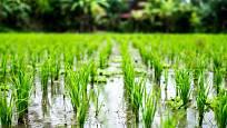 Rýžová pole krmí velkou část planety.