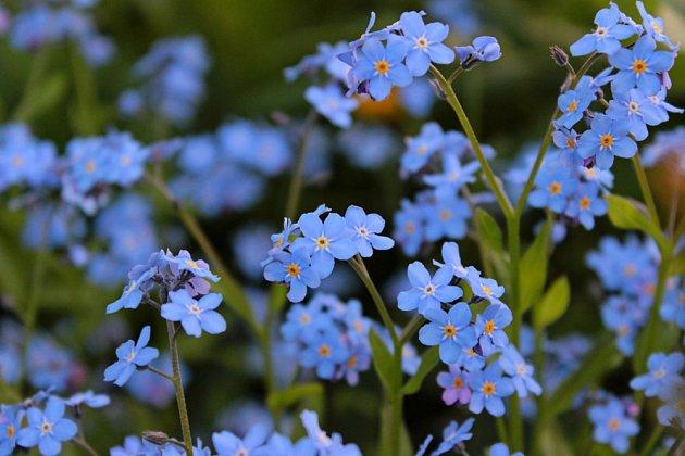 Nádherně modré pomněnky.