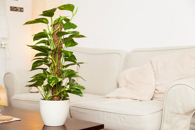 Potos můžete pěstovat na sloupku z kokosových vláken