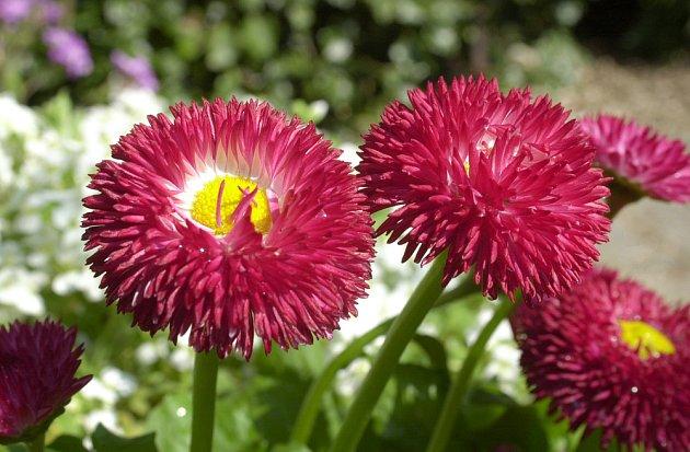 Okrasné zahradní sedmikrásky se pěstují jako dvouletky