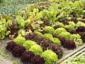 Charakteristickým znakem vytrvalé zeleniny je, že je možné ji pěstovat na stejném místě po několik let.