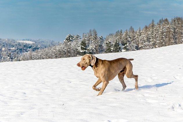 Výmarský ohař miluje dlouhé procházky i psí sporty.