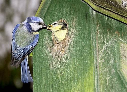 Sýkora modřinka při krmení mláďat.