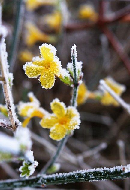 Otužilý jasmín nahokvětý zvládá naše zimy bez potíží.